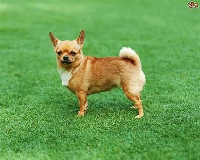 Chihuahua Breed Dog Breeds Facts Chi Pets4homes
