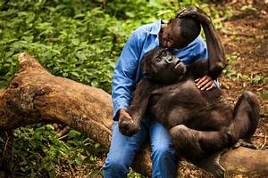Gorilla in the Congo   100 Photographs   The Most ...
