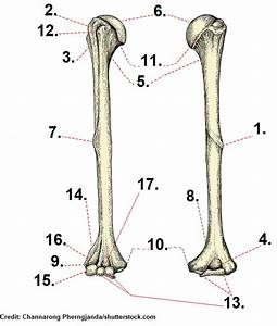 Humerus Bone Quiz Anatomy