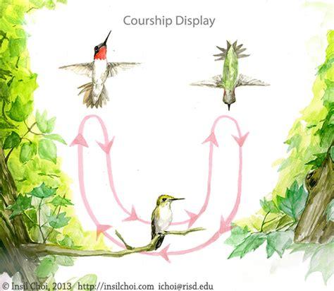 lifespan of a hummingbird the life cycle of hummingbirds on behance