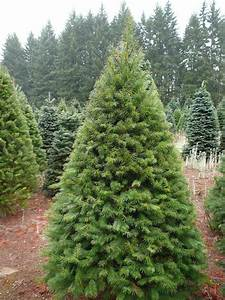 Fresh Cut Christmas Trees | Delivered Christmas Trees