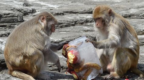 philippines bans monkey exports  ebola deaths news