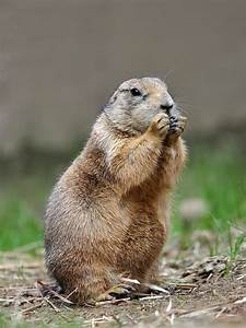 Prairie dog - Wikipedia