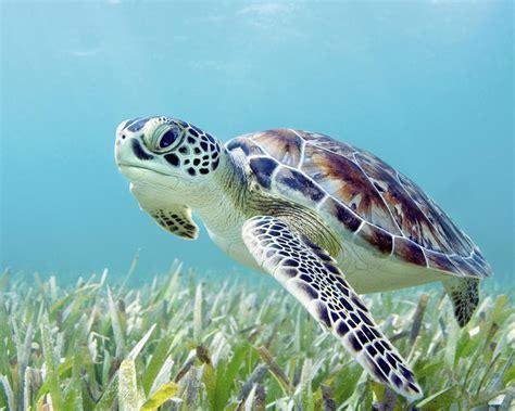 Hawaii, Green Sea Turtle (chelonia Mydas) An Endangered