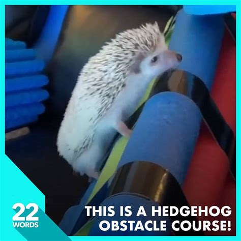 22 Words Presents - This Hedgehog Completes An Amazing ...