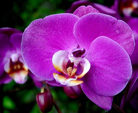 purple orchid photograph by rona black