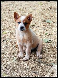 Australian Cattle Dog Red Heeler