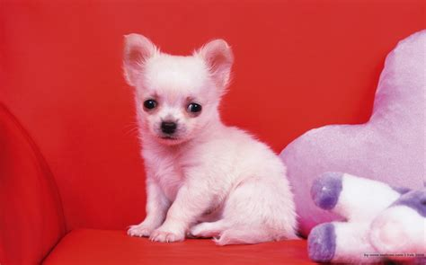 [Video] 10 Smallest Breeds Of Dogs In The World! - Paws ...