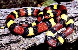 Milk Snake (Lampropeltis triangulum) ~ My Pet