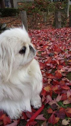 pekingese images   cute puppies
