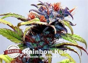 amsterdam strains