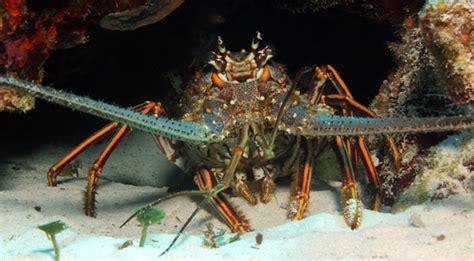 video spiny lobster seasons set   july