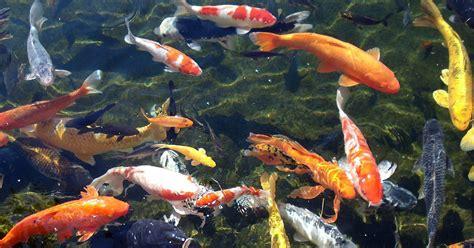 koi fish packsmixe