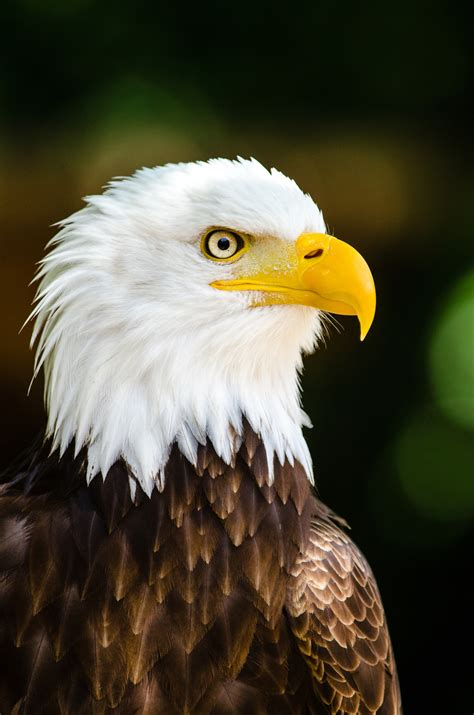 Bald eagle | The Raptor Center