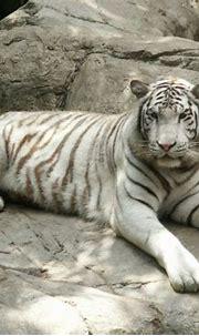 Bengal Tiger Conservation: Basics on Bengal Tigers