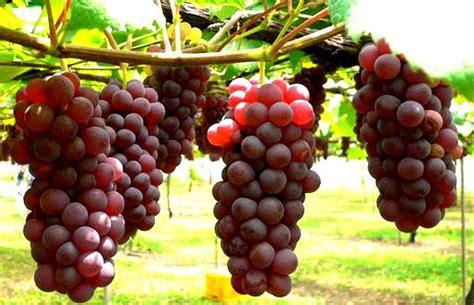 anggur ciri ciri tanaman serta khasiat dan manfaatnya