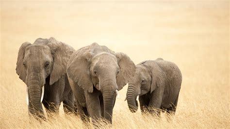 Safari Animal Wallpaper - elephant safari africa animals hd wallpaper