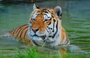 White Siberian Tiger Water