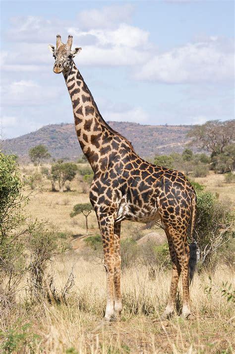 giraffe  lion king fanon wiki fandom powered  wikia
