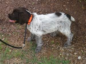 about dog breeds spanish dog breeds large non shedding dog