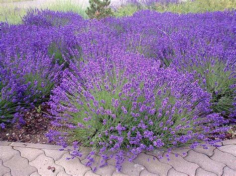 how to plant lavendar enjoy growing your own lavender with these tips quiet corner