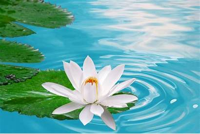 Flower Lotus Wallpapers Water Background Definition Flowers
