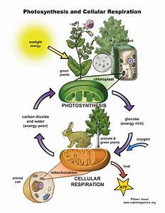 Photosynthesis And Cellular Respiration Poster