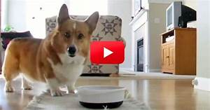 Corgi Gets So Excited About Mealtime That He Develops His ...