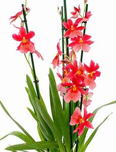 Orchideen Umtopfen Wurzeln Schneiden : orchidee pflege 123zimmerpflanzen ~ A.2002-acura-tl-radio.info Haus und Dekorationen
