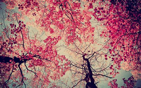 pink trees wallpapers wallpaper cave