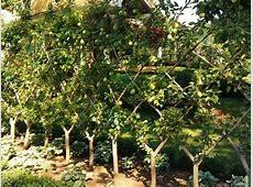 Frutales En Espaldera Para Jardines Pequeños Fundació