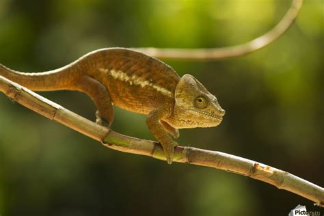 chameleon   natural habitat madagascar mirica