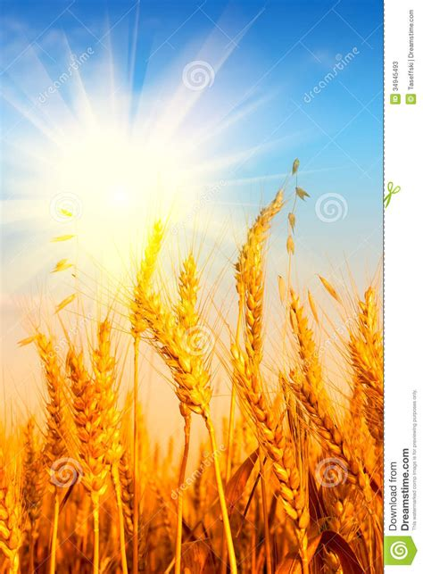 wheat field  blue sky  sun stock image image