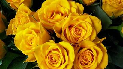 Yellow Flowers Rose Flower Roses Wallpapers Backgrounds