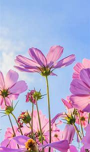 Pink Flowers Wallpaper - KoLPaPer - Awesome Free HD Wallpapers