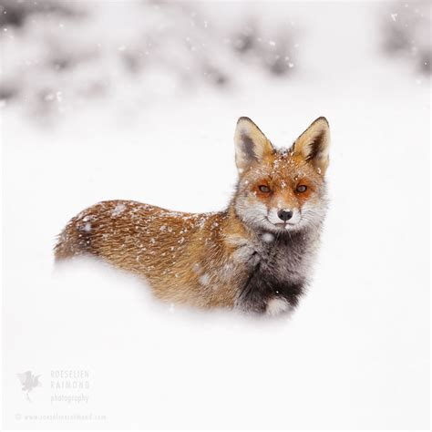 lisky skotacici ve snehu blog cilichili