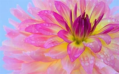 Pink Flower Dew Morning 4k Desktop Clipart