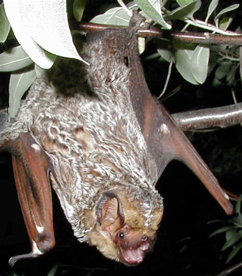 hoary bats hibernate compasslive