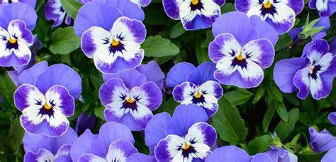 fiori pensiero viola pensiero il fiore invernale resiste al