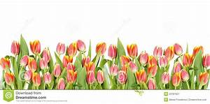 Tulip Flowers Border Over The White Stock Image - Image of ...