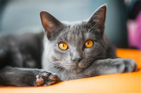 Chartreux Cat Breed Information And Advice