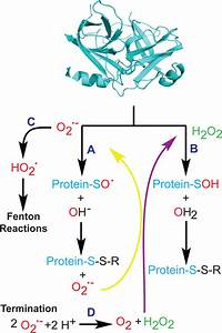 Protein Modification By Ros  Superoxide  Path A  Can