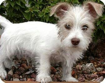 baby mini wirehaired fox terrier cross maltese dogs