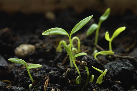 how to grow a seedling growing parsley seeds how can parsley be grown from seeds