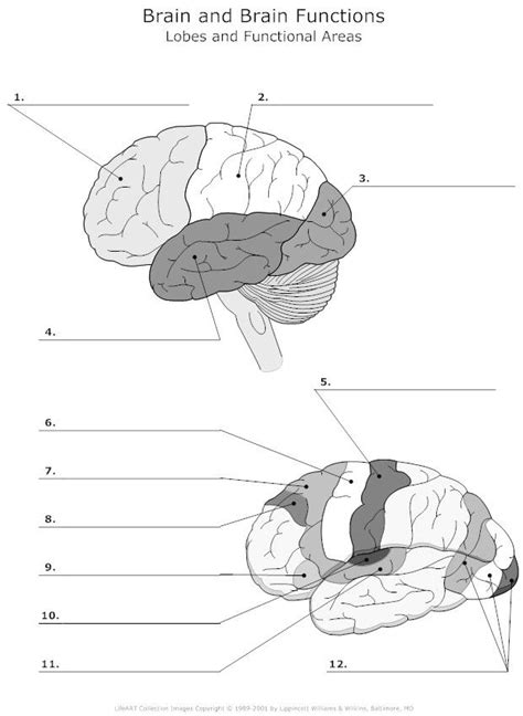 lobes  functional areas   brain unlabeled neuroanatomy cranial nerves anatomy