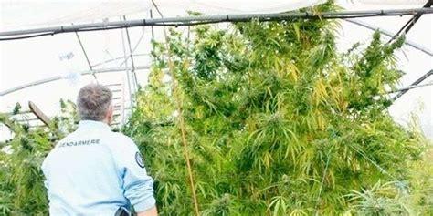 chambre de sechage cannabis de l impact de l activité lunaire sur le cannabis sud