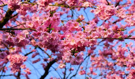 fiore giapponese foto gratis fiore di ciliegio immagine gratis su