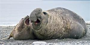 Elephant Seal Births On Macquarie Island Declining Due To ...