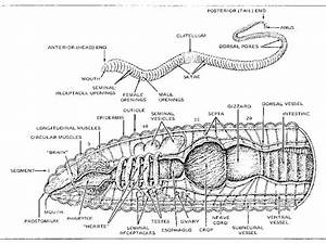 Earthworm Diagram Labeled Parts  Earthworm  Free Engine