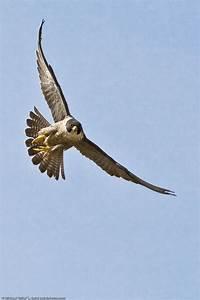 peregrine falcon – MacroBird